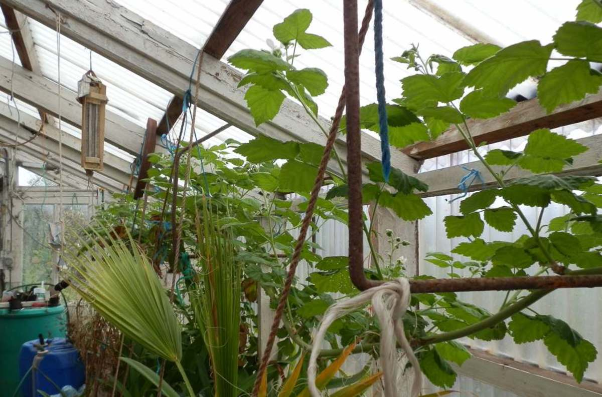 The loganberry vine grows along the full length of the greenhouse.