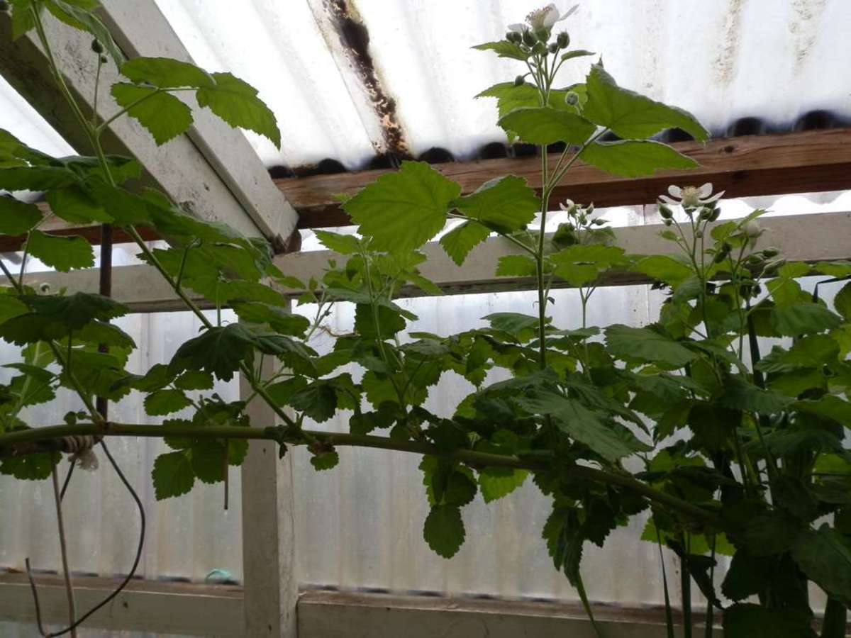 In the spring, new loganberry flowering 'spurs' grow upwards from the main horizontal vine.