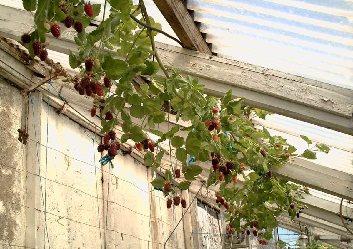 Loganberry fruits inside a greenhouse.