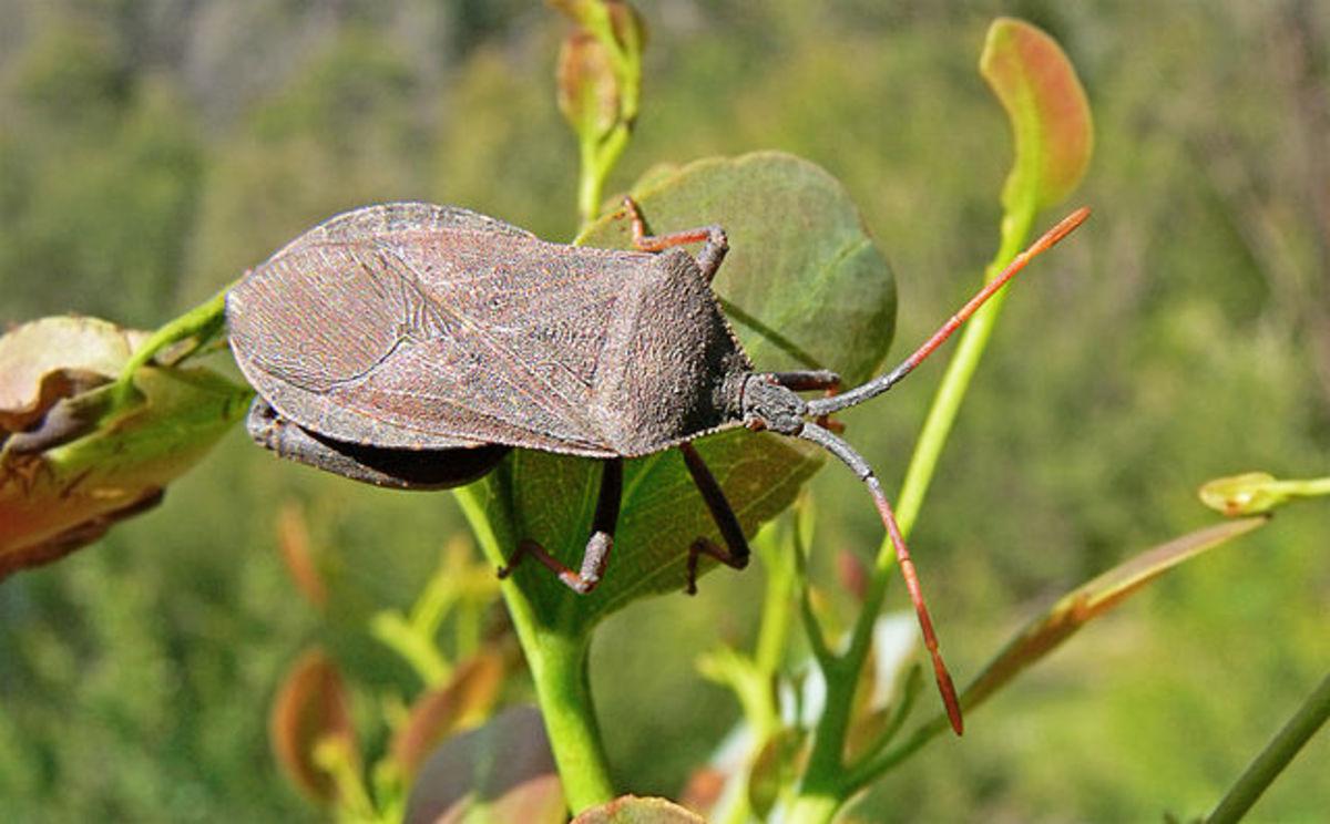 Adult squash bug