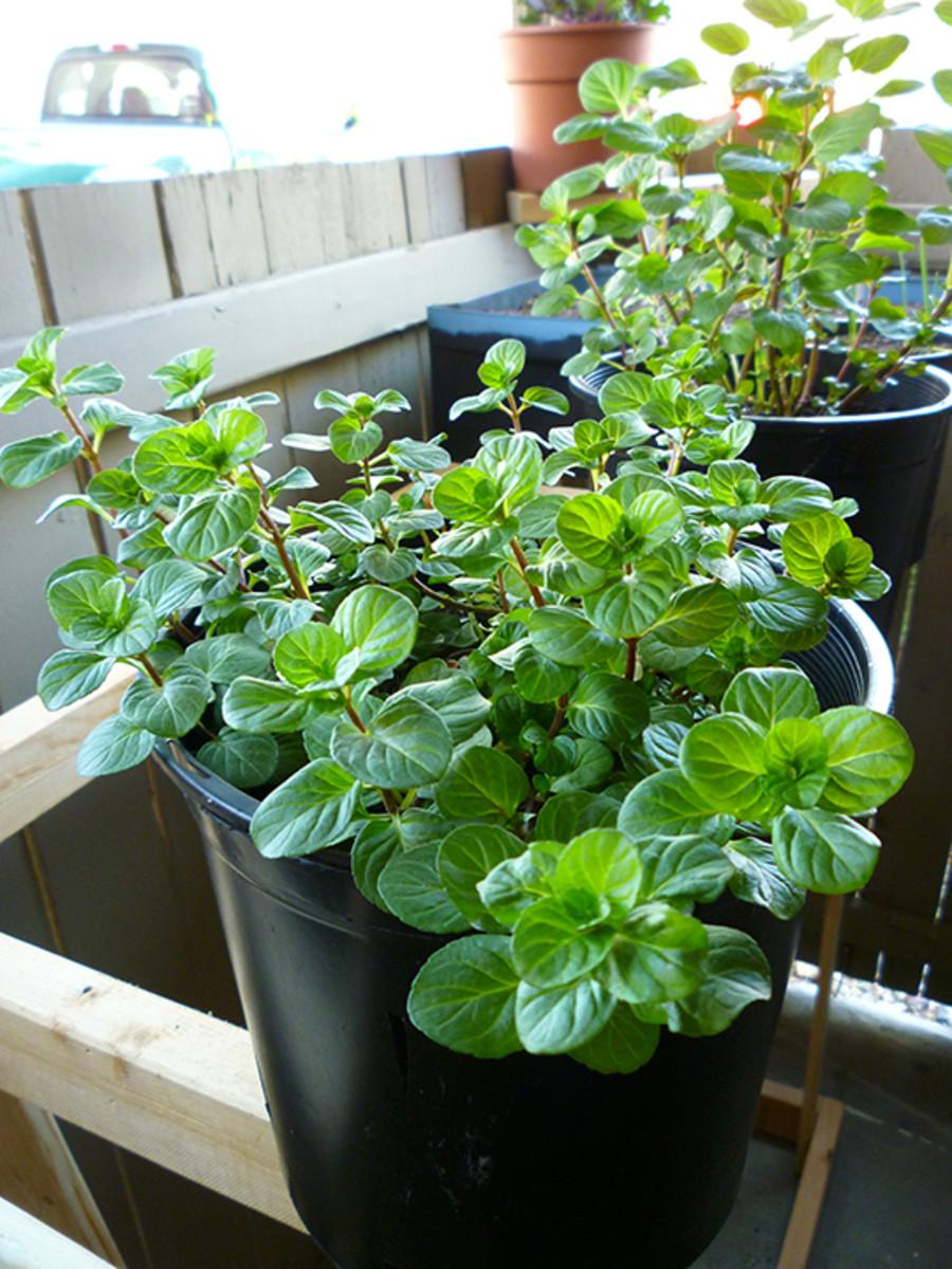 Mint Plant Care