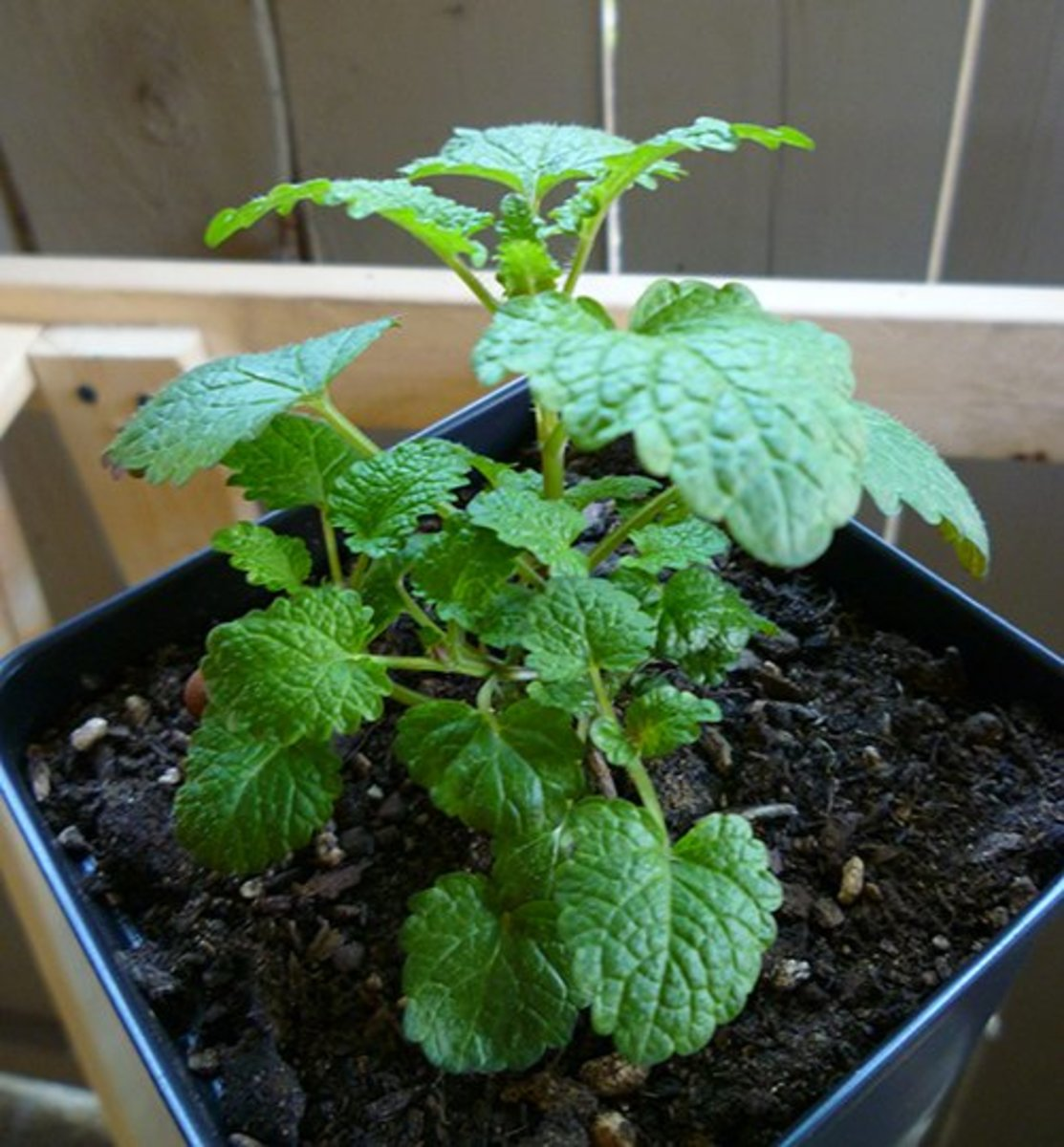 This eight-week-old lemon balm plant—which is part of the mint family—was grown from seed.
