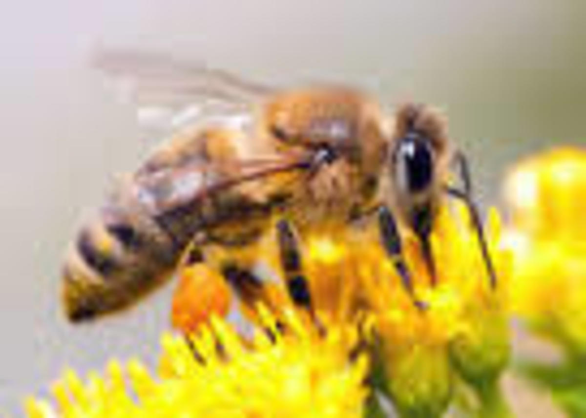 Honeybees are needed to pollinate crops. Insecticides are killing entire colonies of honeybees.