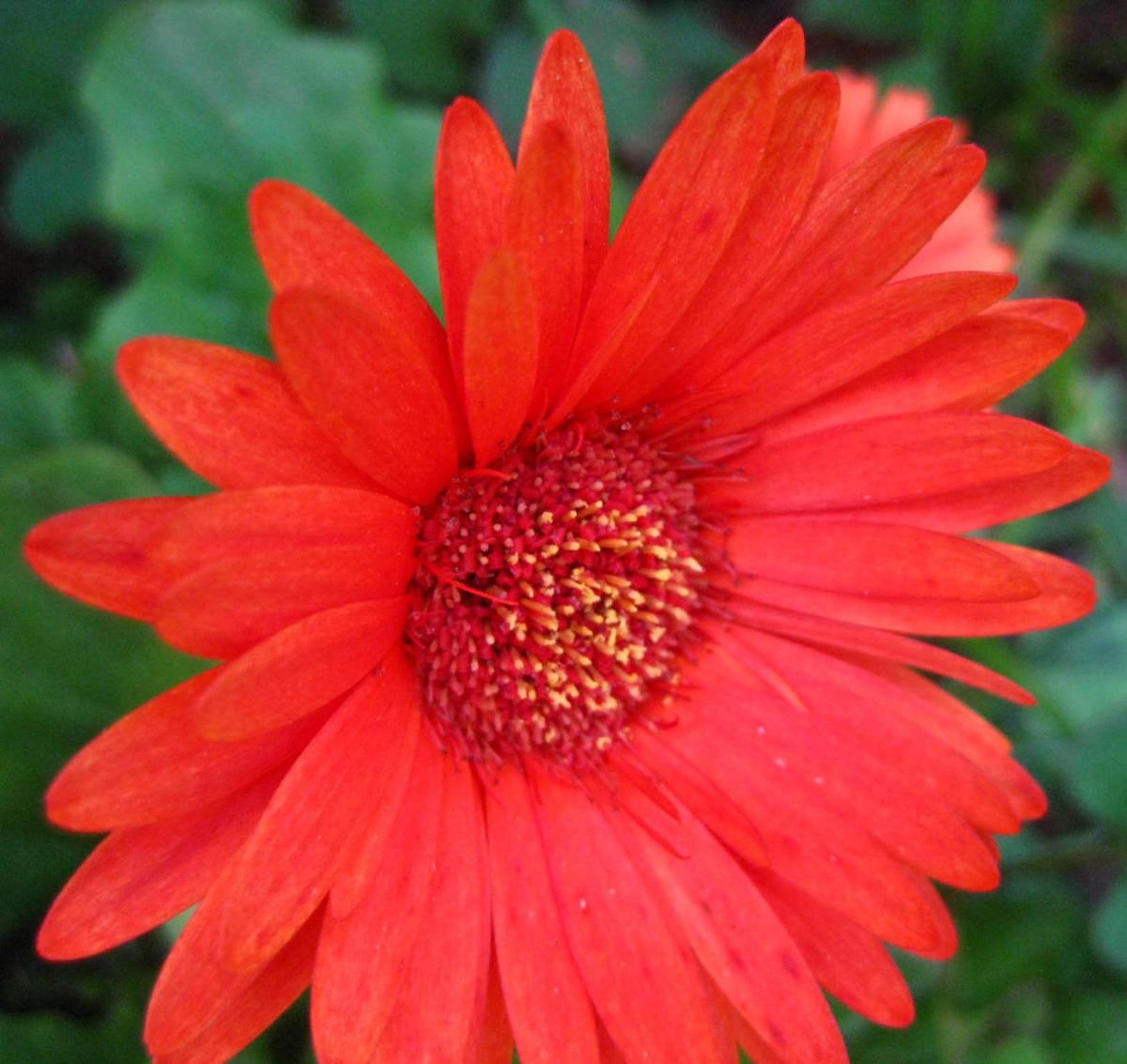 The simplicity of a brightly-colored Gerbera daisy makes me smile
