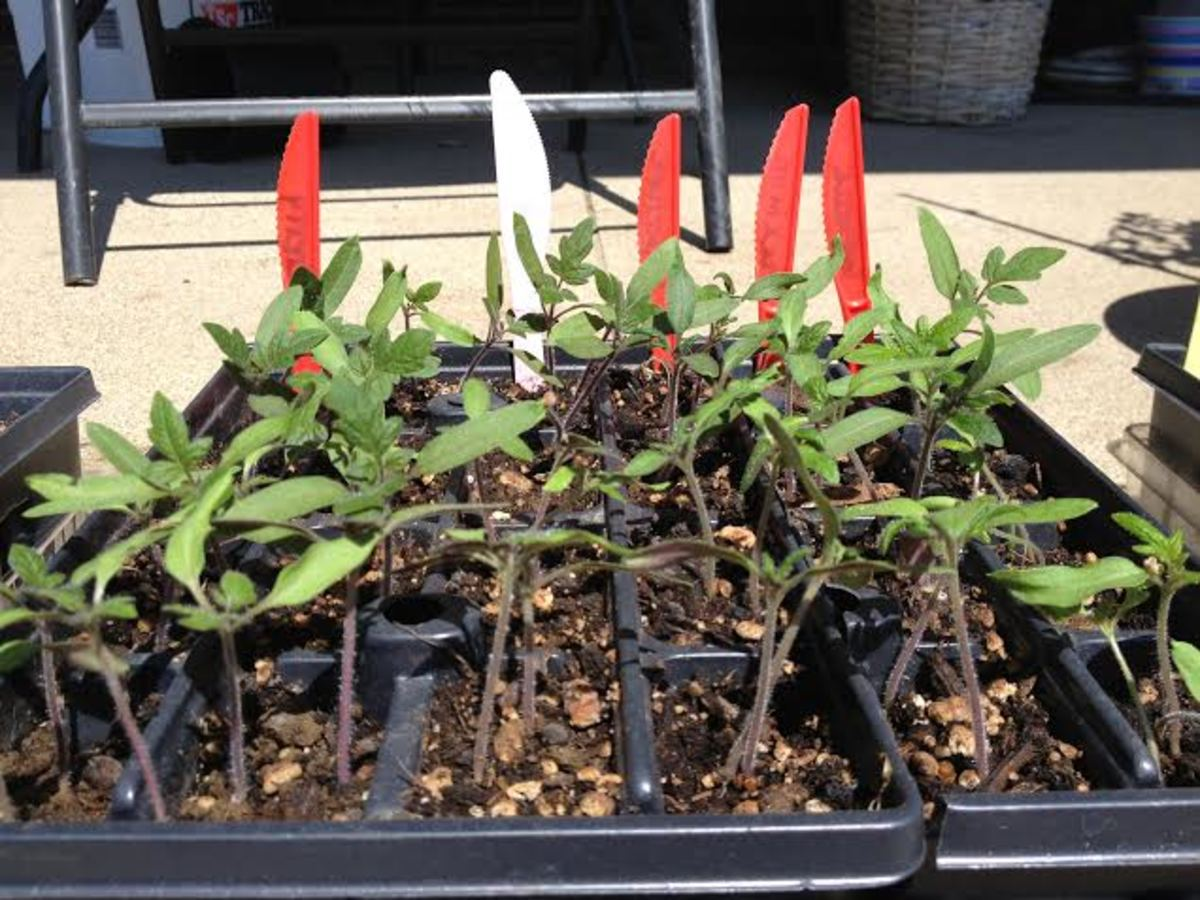 Tomato plants in the hardening process.