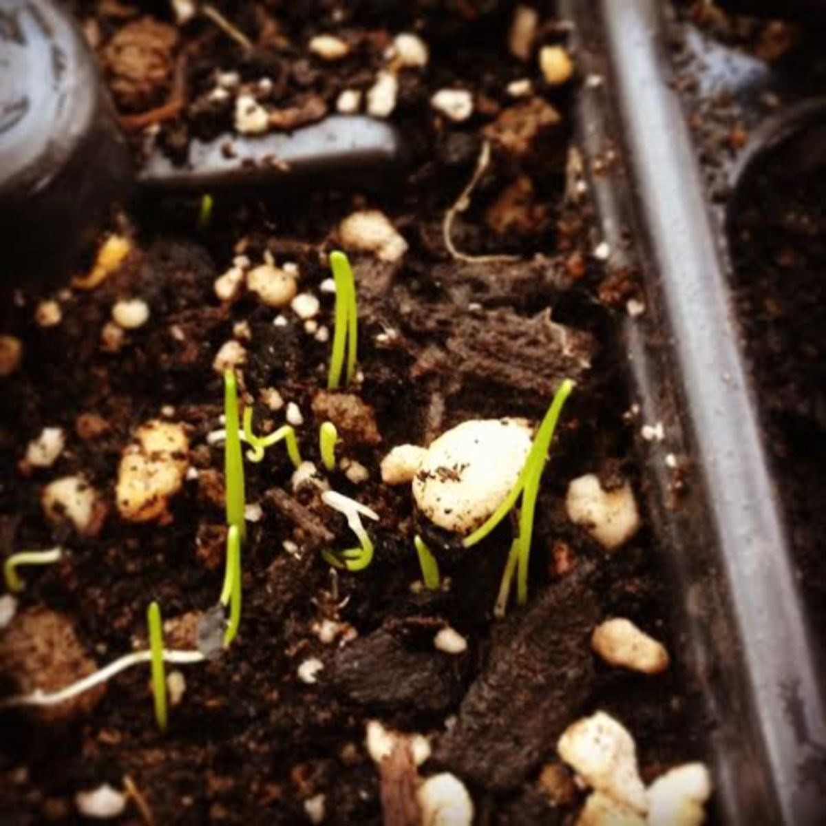 Brand new little chive plants.