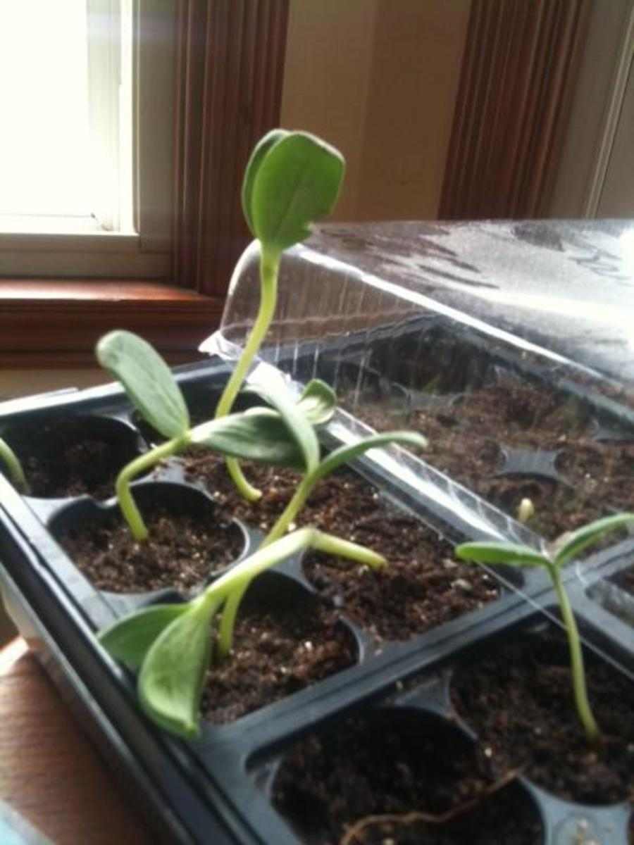 Orange Watermelon seedlings sprouting in the starter tray.