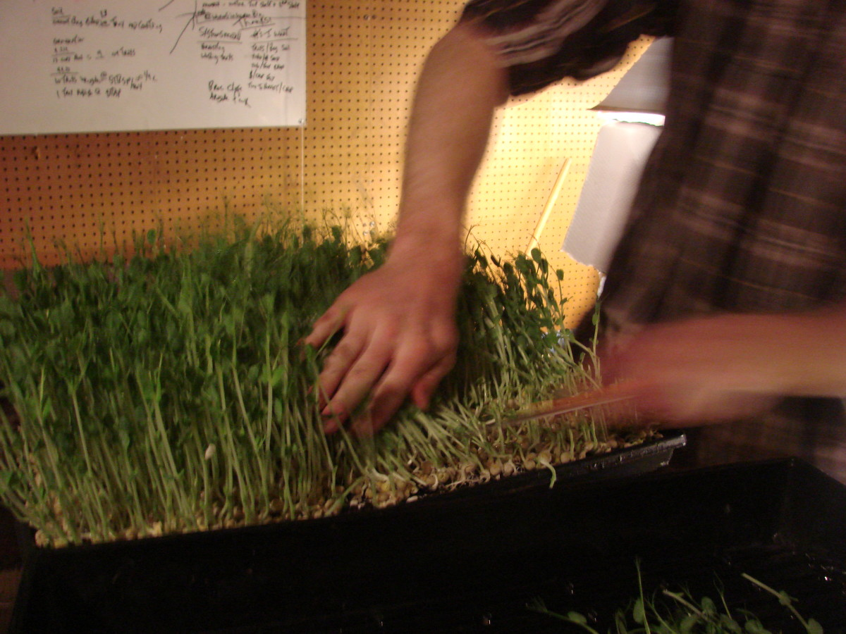 Harvesting the greens, use a sharp knife so as not to crunch the stalks.