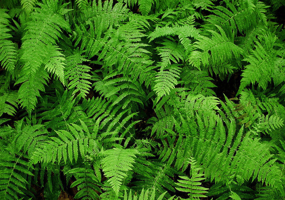 Lots of fern!