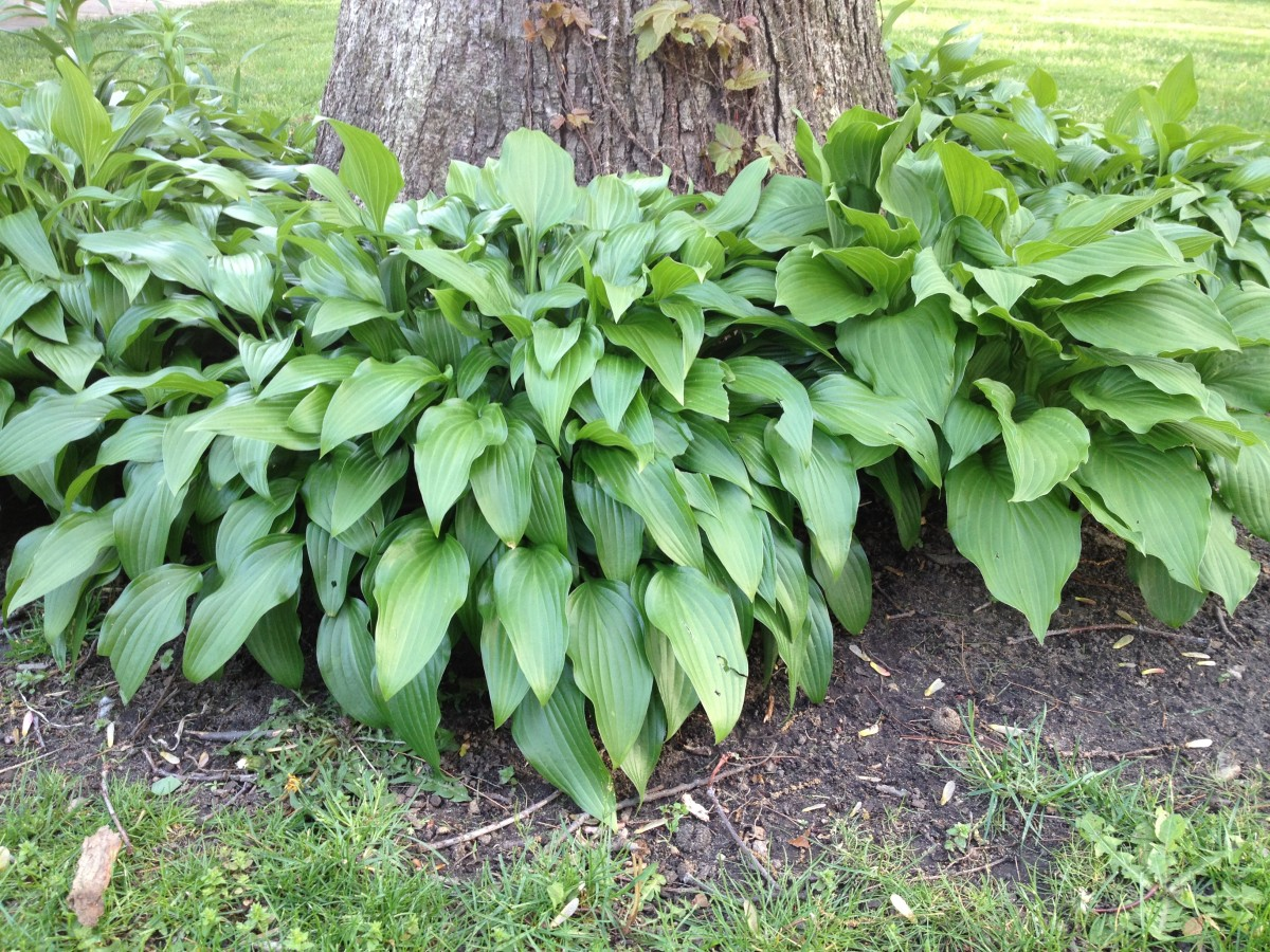 Hostas planted around an oak tree