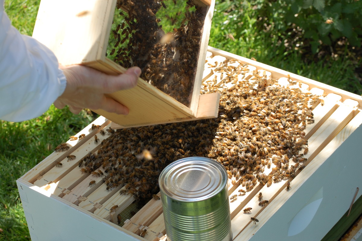 Installing bees into a hive