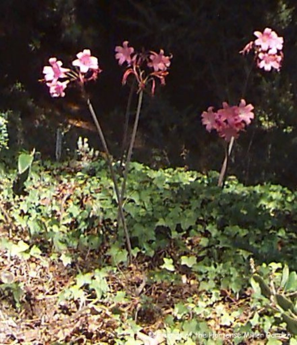 These naked lady lilies were planted too far apart and thus look a bit scattered.