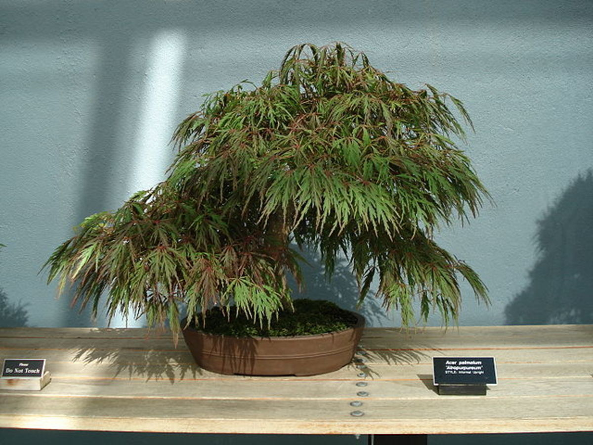 "An Acer Palmatum Atropurpureum bonsai of the ""Informal Upright"" style at the Brooklyn Botanical Garden in New York City, NY, USA."