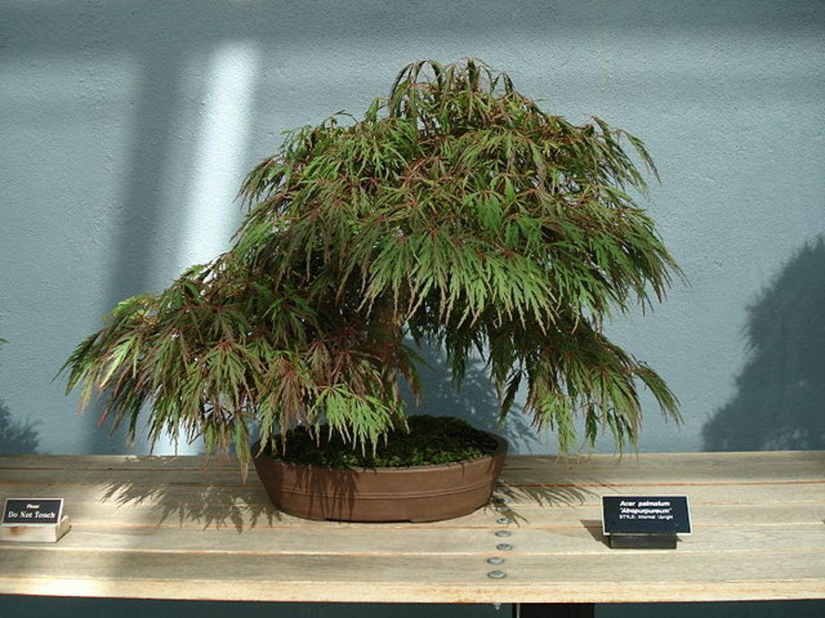 "An Acer Palmatum Atropurpureum bonsai of the ""Informal Upright"" style at the Brooklyn Botanical Garden in New York City, NY, USA."