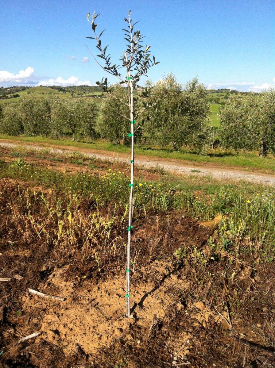 Newly Planted Olive Tree