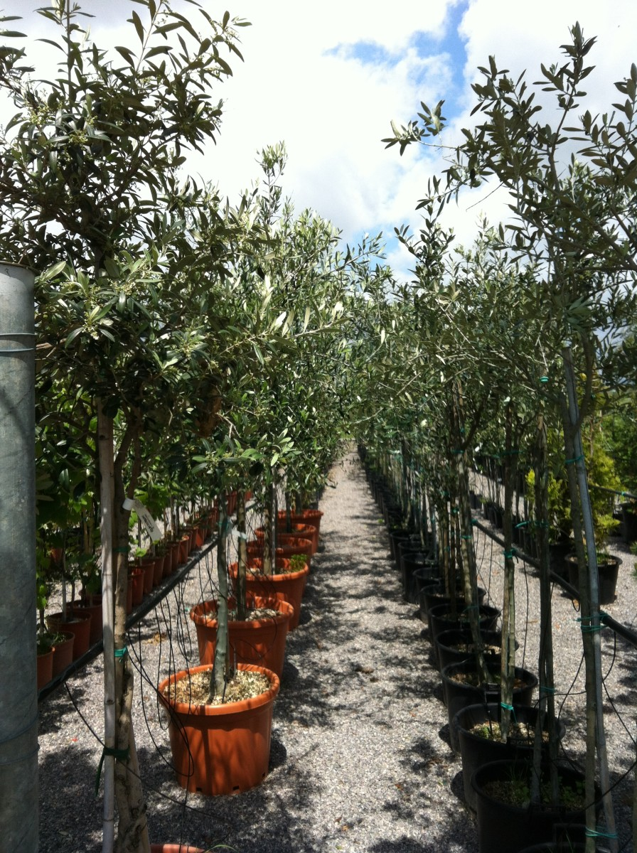 2 Year Old Olive Trees At The Garden Center