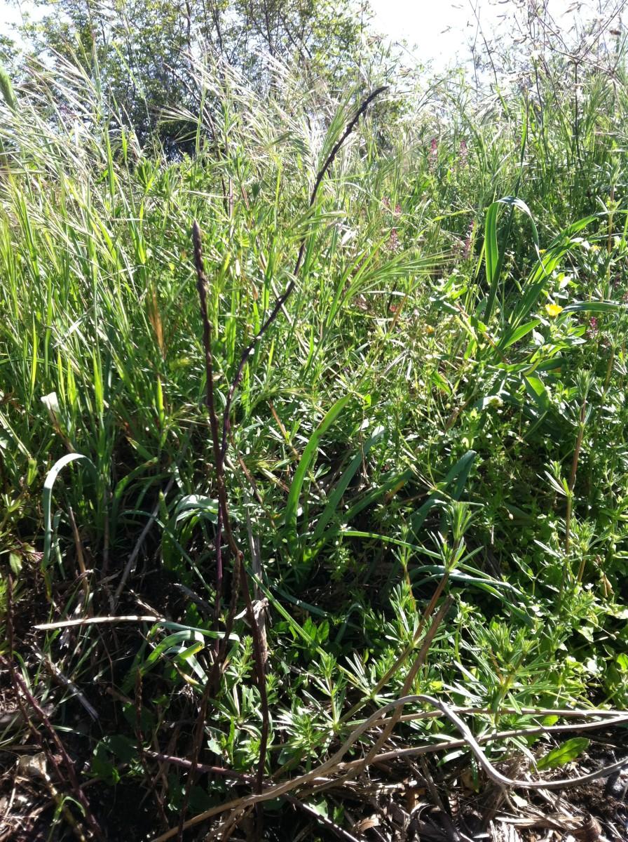 Wild Asparagus Plant How Wild Asparagus Shoots Grow