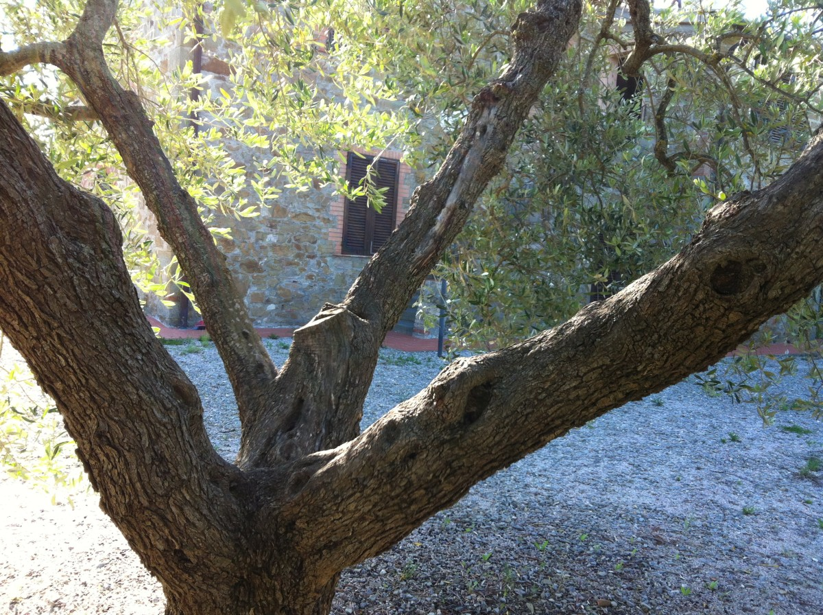 A Vase Shaped Olive Tree