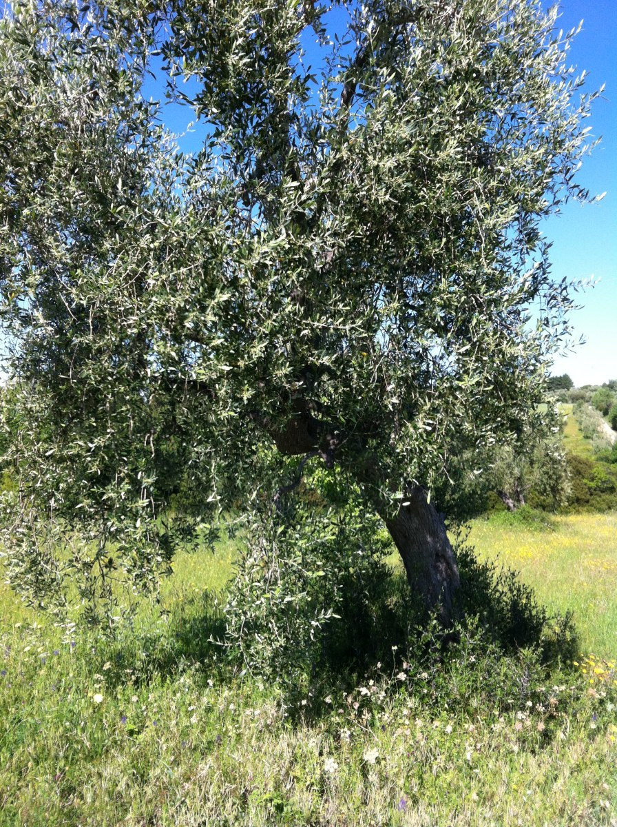 An Olive Tre with Shoots to Prune