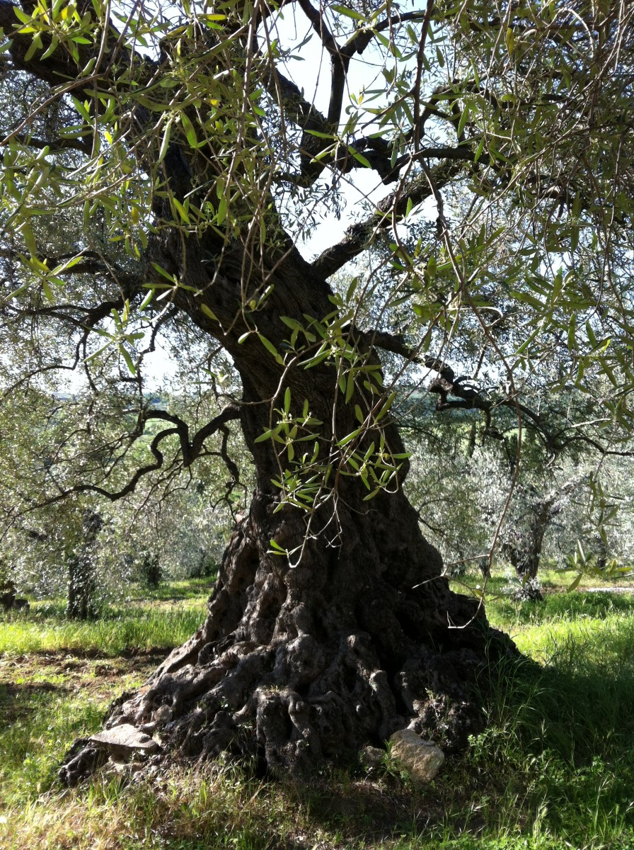 3, 000 Olive Tree in Tuscany Pruned to Let in Air and Light