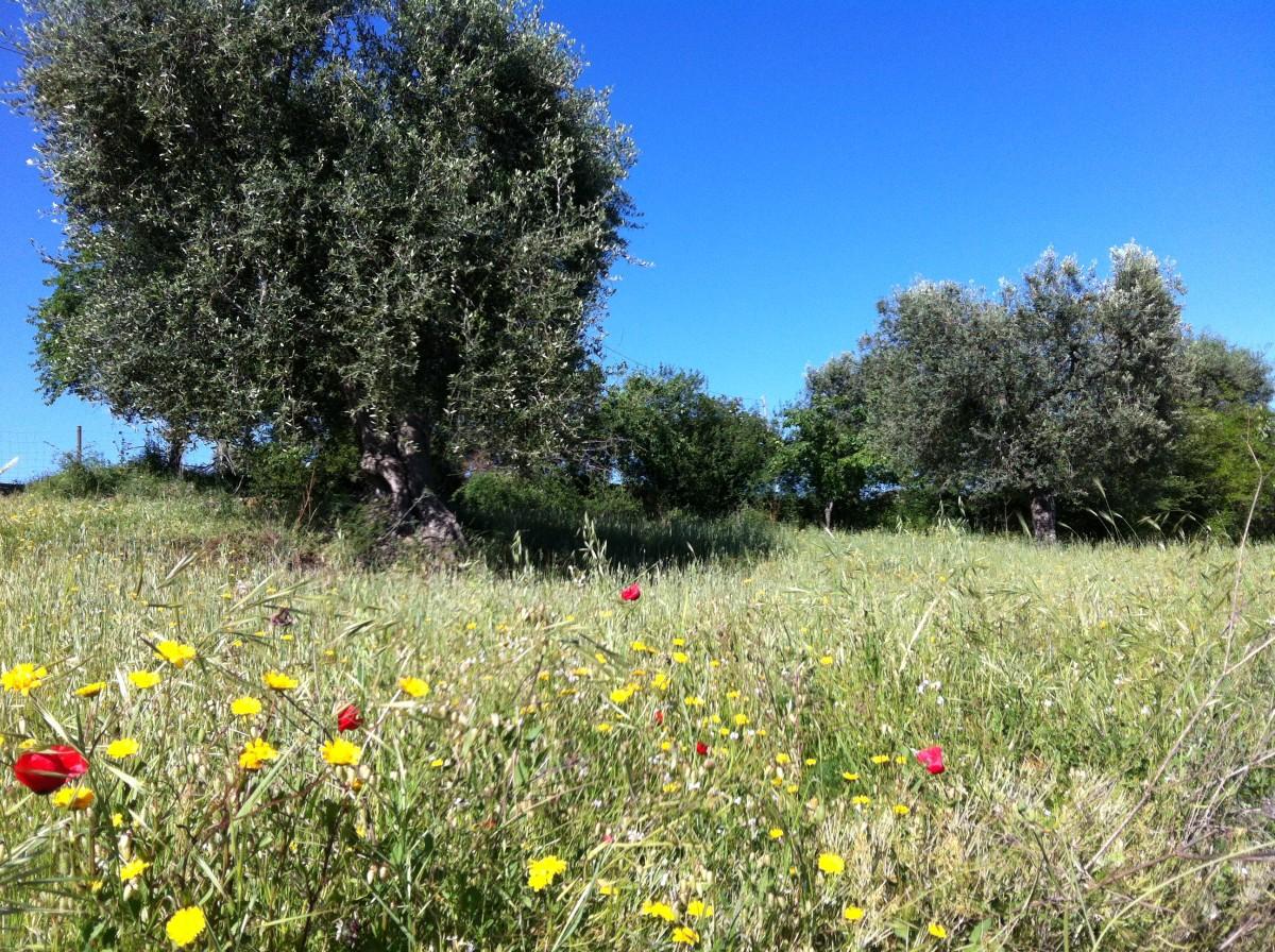 Franco's Secular Olive Grove
