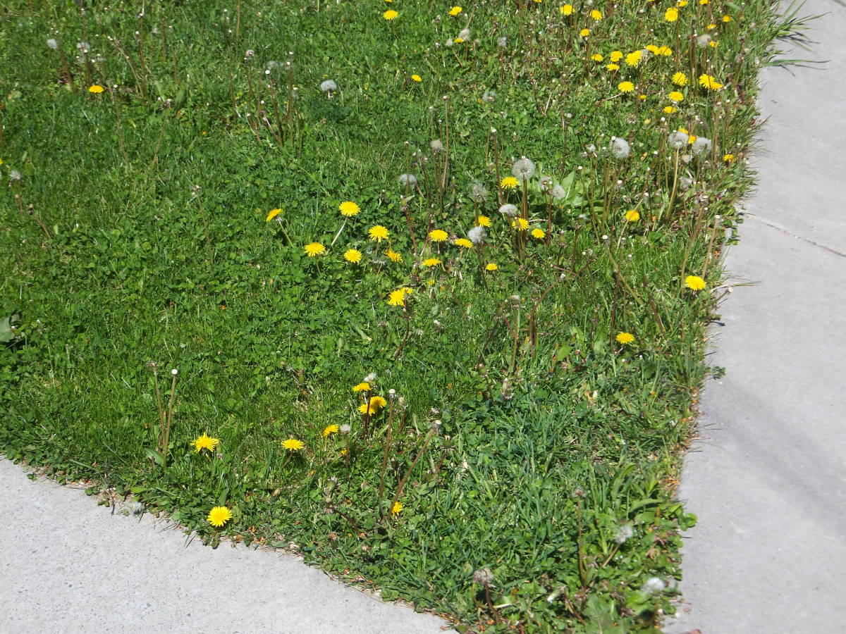 "From this picture you can see the diversity of plant life in my lawn.  This is the ""before"" picture showing the amount of dandelions."