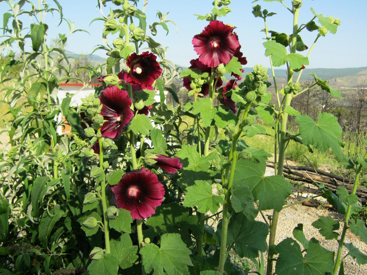 I thought these Hollyhocks grown from free seed had been destroyed in a wildfire, but after cutting everything hard back and waiting I am delighted to see they came back better than ever. Mother nature is a wonderful thing.