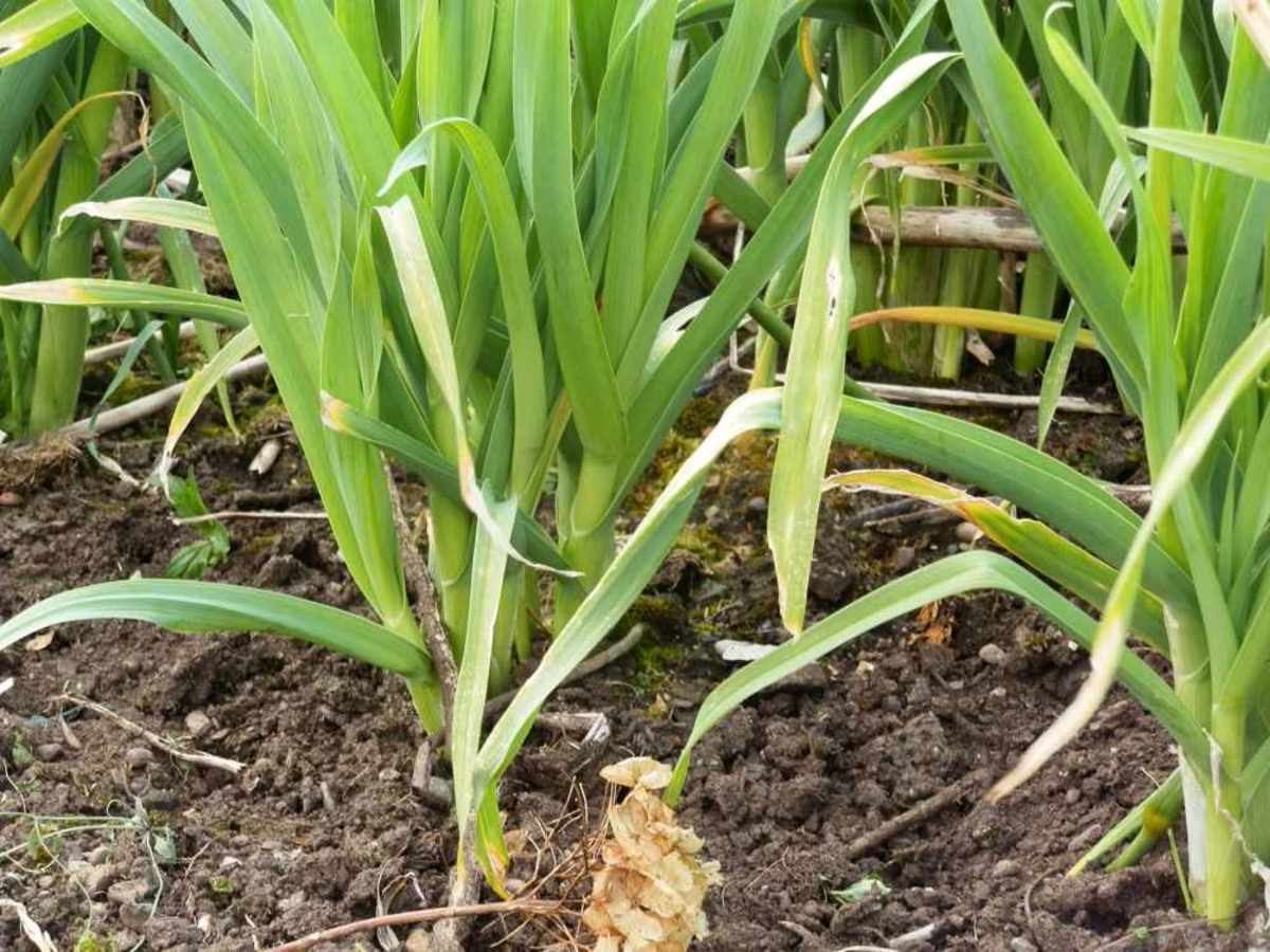 leeks with lots of offshoots