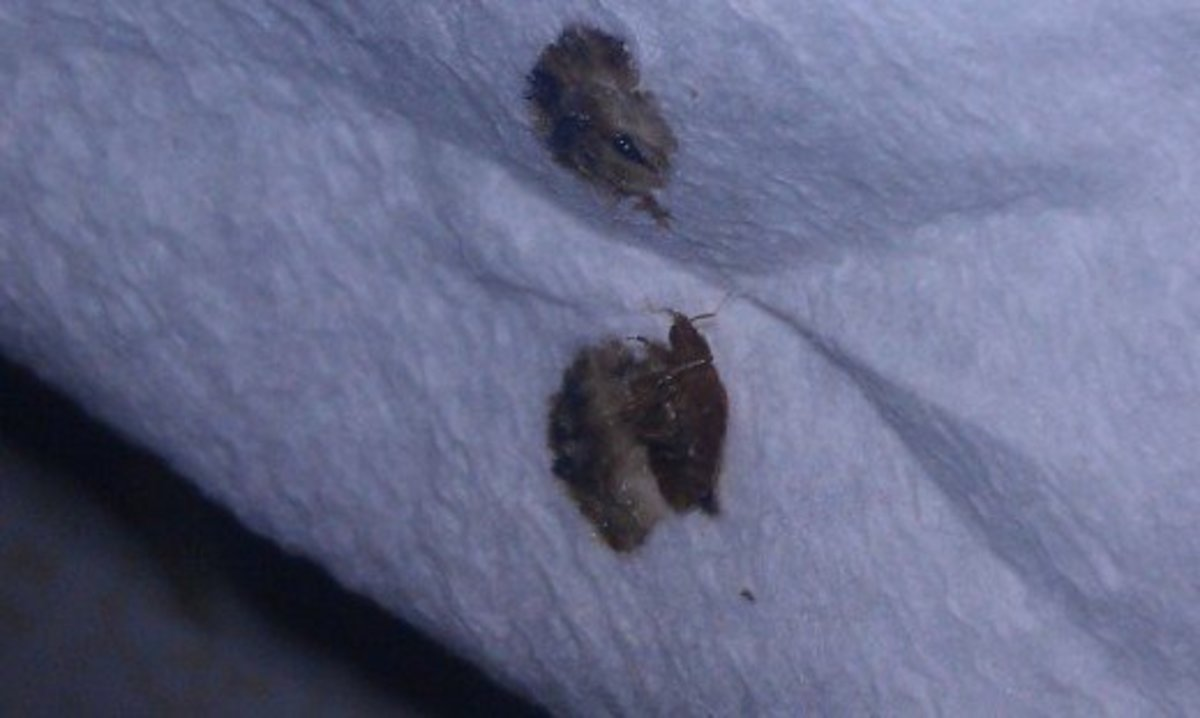The dark fluid left behind by a squished bedbug is digested blood and has a moldy, unpleasant smell.