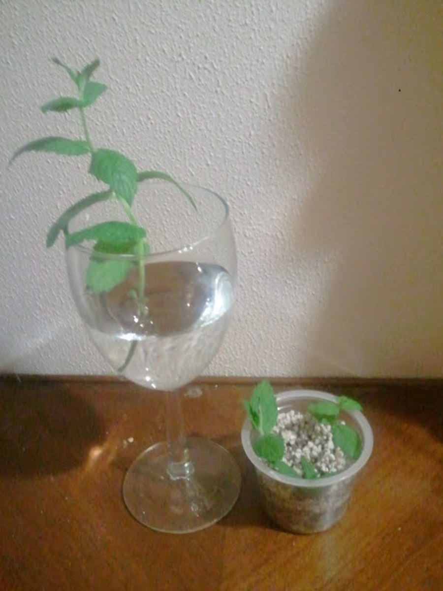 On the left, a mint sprig in water; on the right, three cuttings in vermiculite & perlite.