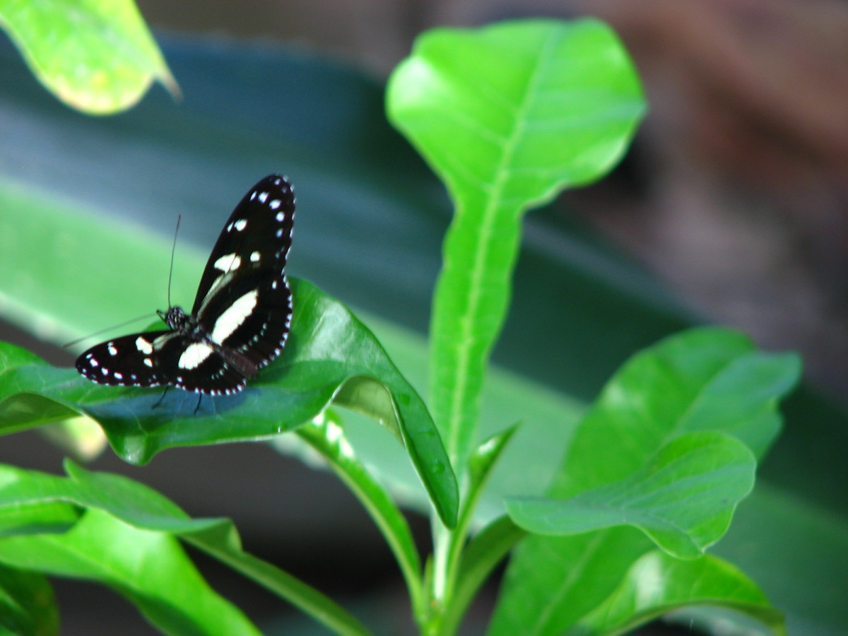 I am not 100% postive, but I believe this is a Tropical Swallowtail.
