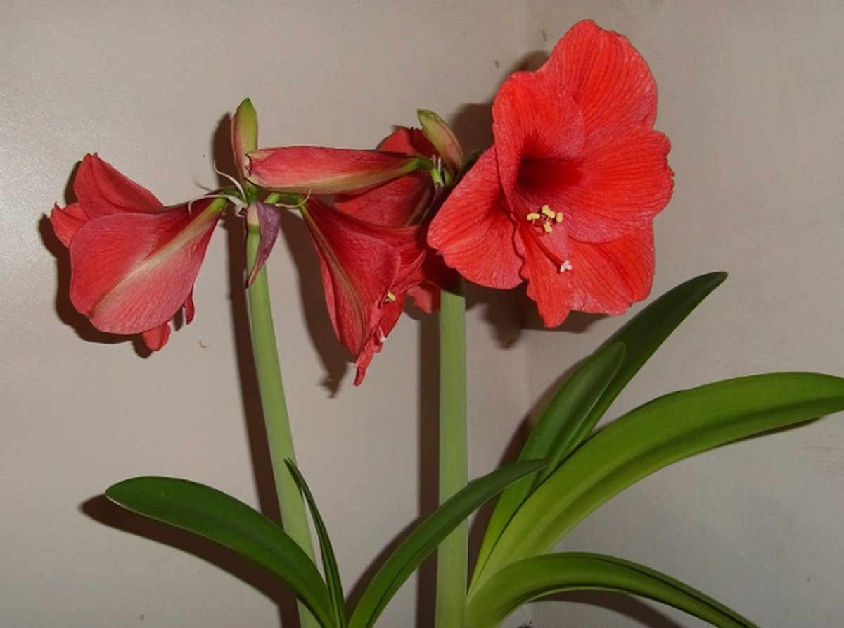 Amaryllis Flowers Brighten Up a Dull Corner