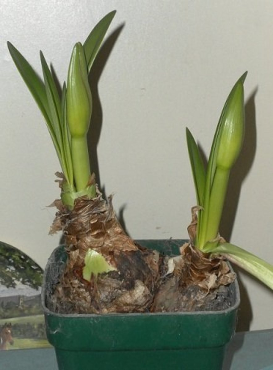 Amaryllis flowerbuds and leaves emerging from bulbs.