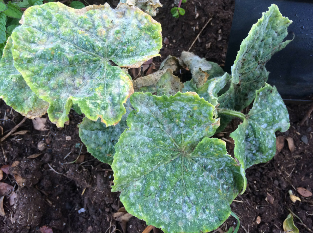 White, powdery spots on leaves are a tell-tale sign of powdery mildew.