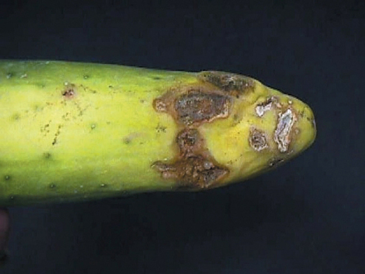 Rhizoctonia belly rot on cucumbers presents as brown lesions that dry out and scar over time.
