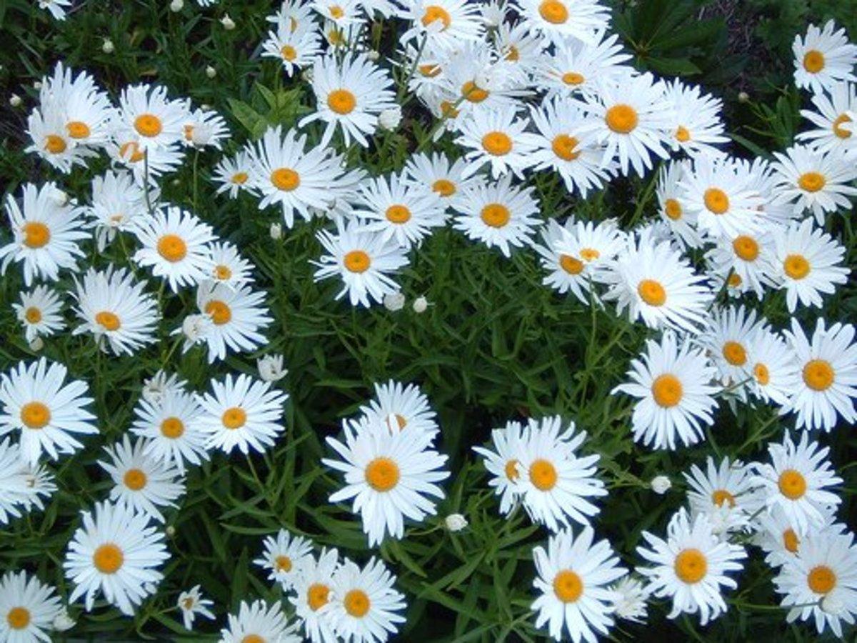Shasta daisy, 060709-daisies—asdfawev (Flickr.com)