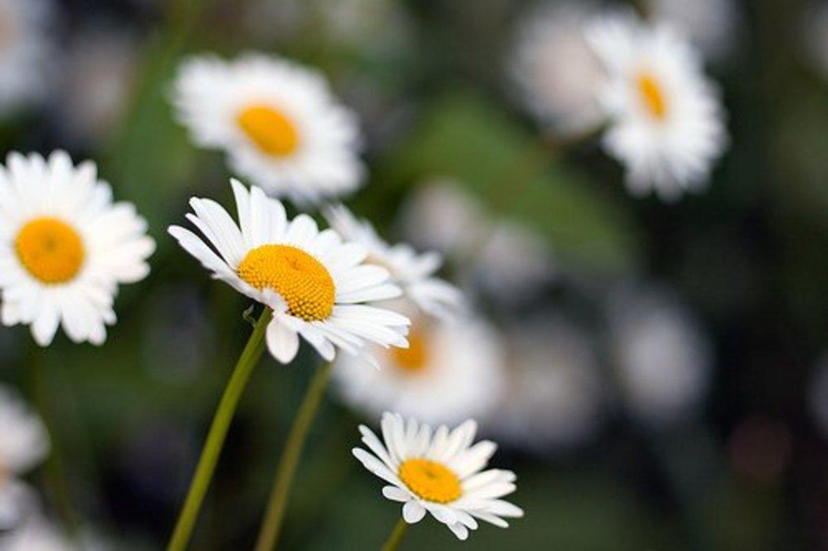 Shasta daisy, Shasta Daisies Explore 25.06.11—James Whitesmith (Flickr.com)