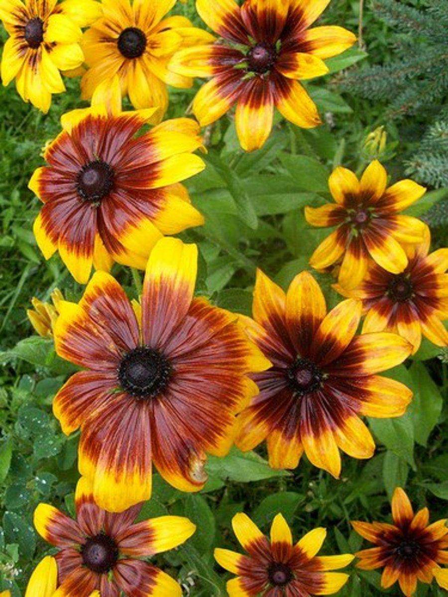 Gloriosa daisy, Gloriosa Daisies—InAweofGod