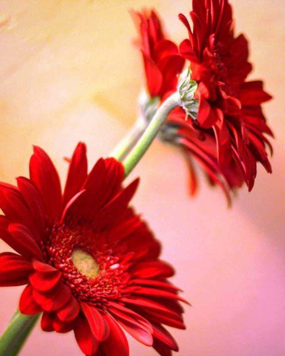 Red Gerber Daisy 365 14-4-2011—Shezamm (Flickr.com)