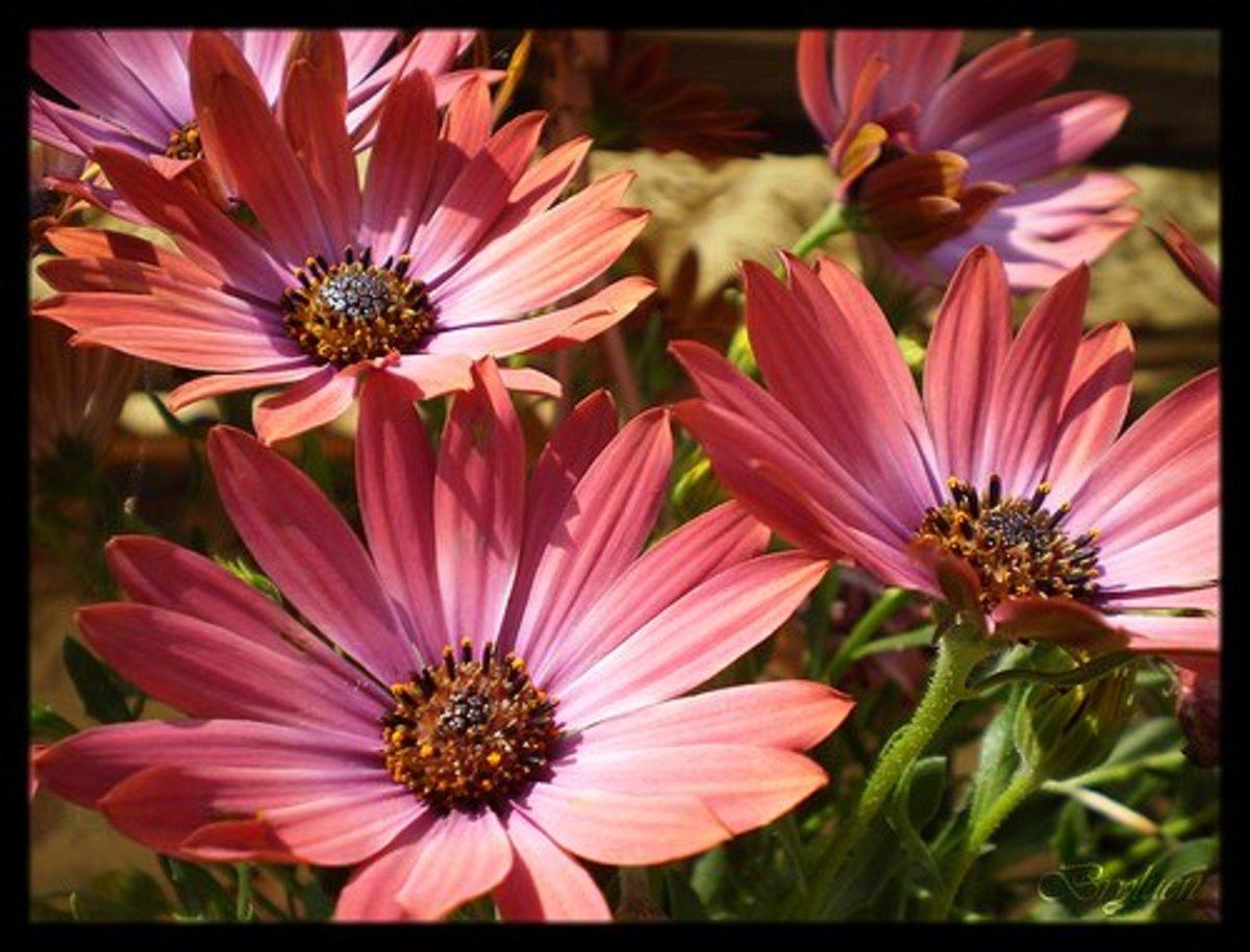 Marguerite daisy, Marguerites—Bryluen (Flickr.com)