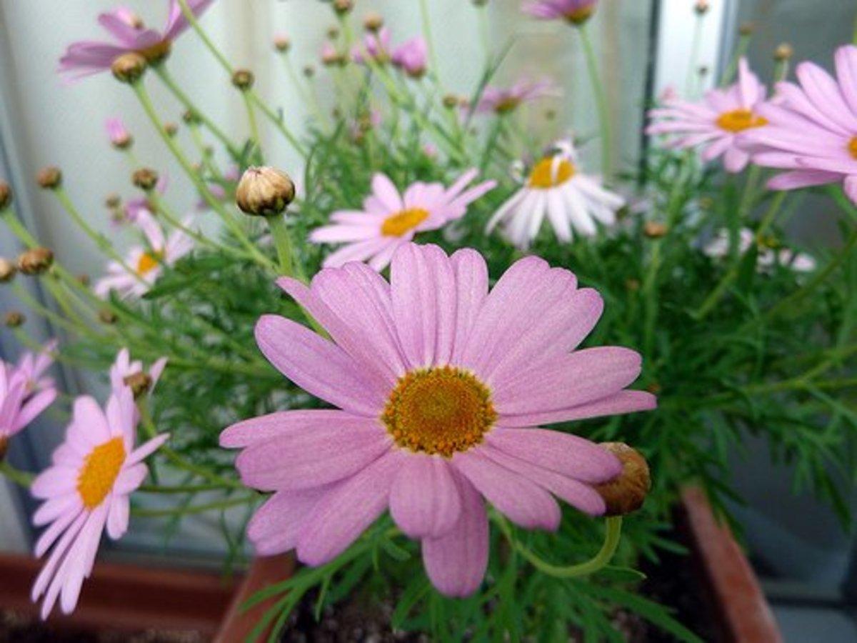 Marguerite Daisy—MShades (Flickr.com)