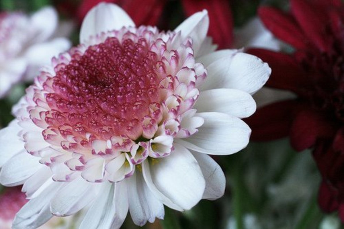 Gerber Daisy—ccharmon (Flickr.com)