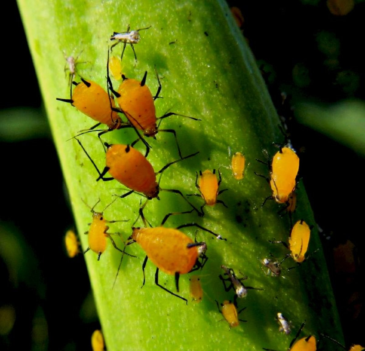 Aphids can really go to town on an organic garden, but your veggies don't have to be completely defenseless.