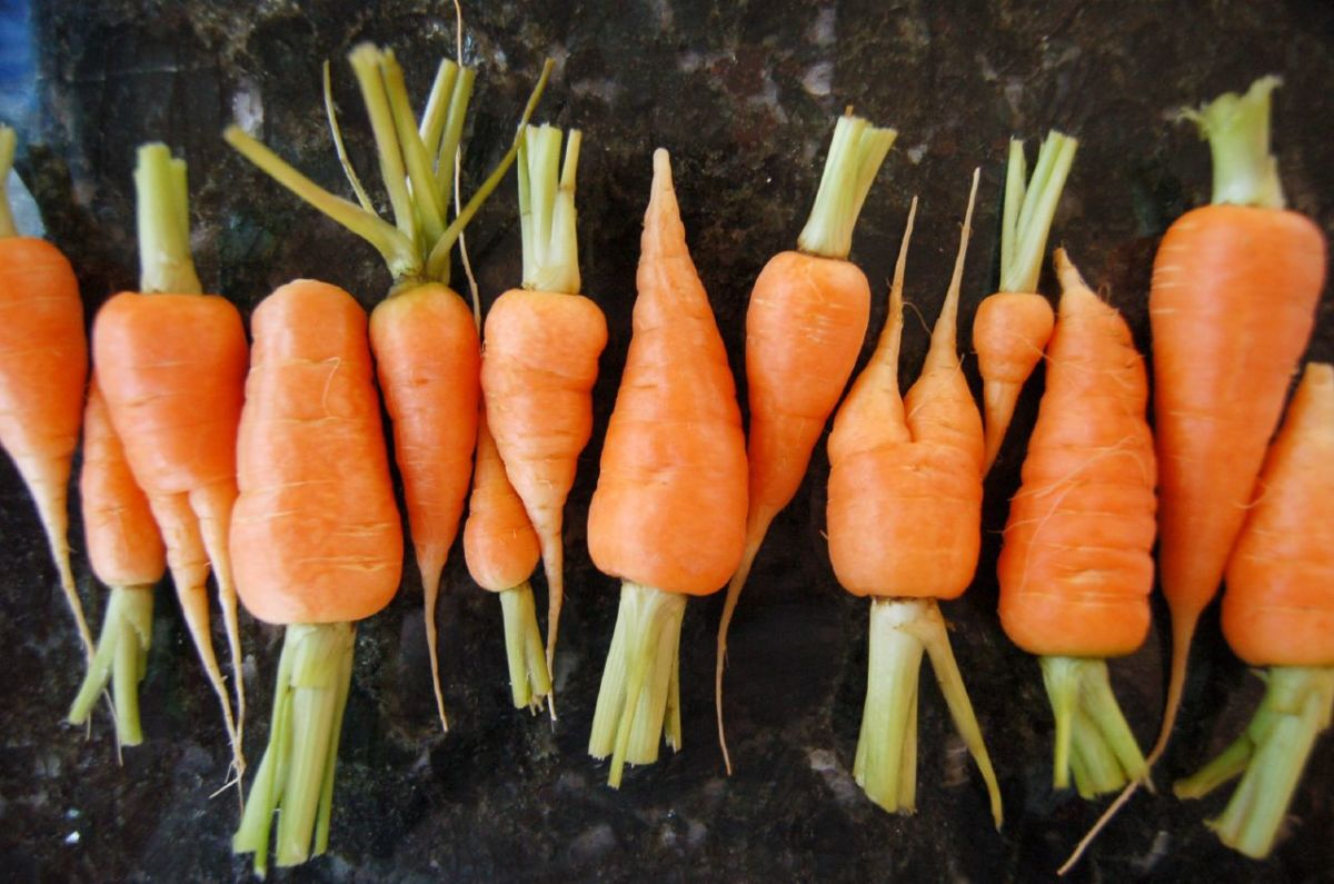 Yummy organically grown carrots