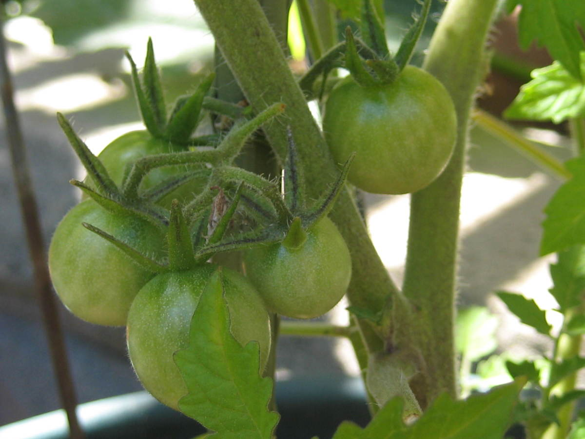 "Young ""cherry tomatoes."""
