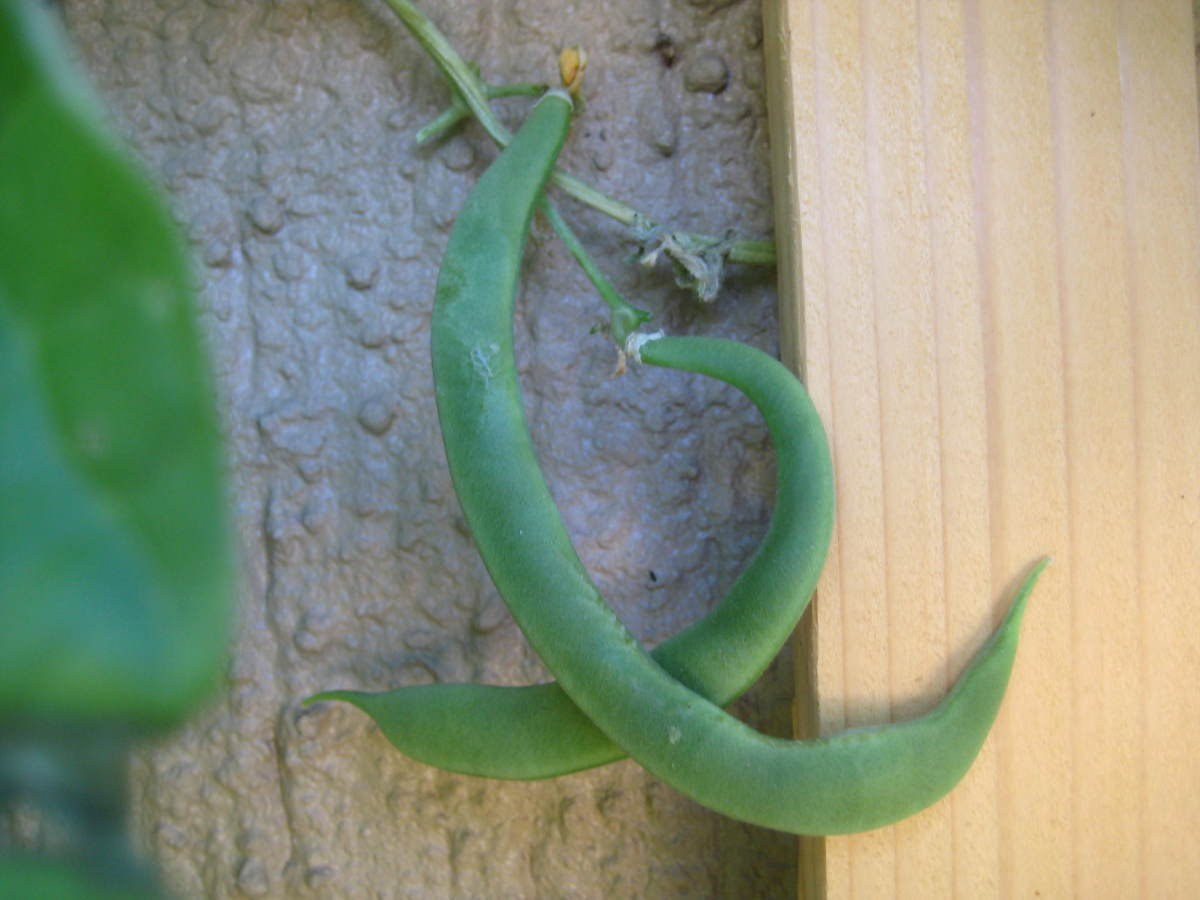 Green beans are perfect for vertical garden because they love to climb!
