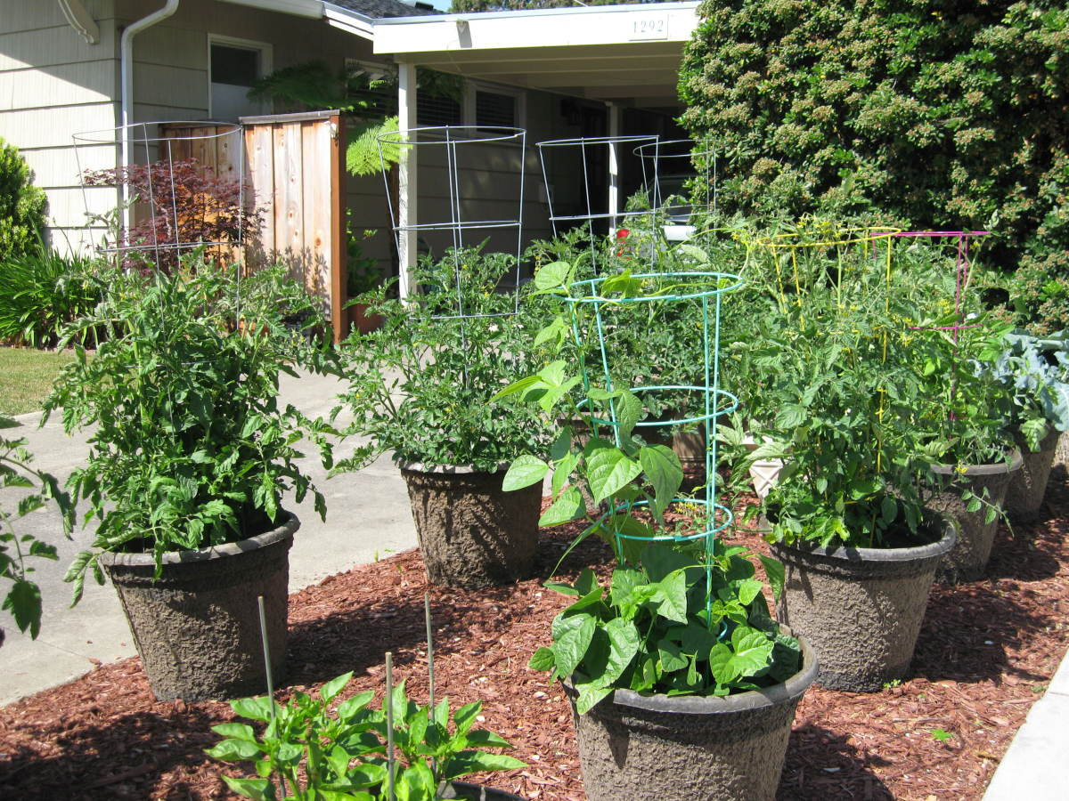 This is my neighbor's front yard vertical vegetable garden! As you can see, there are many wire cages supporting tomato plants.