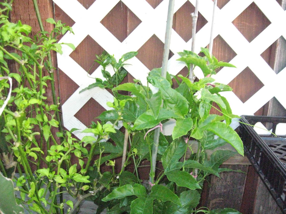 A young passion fruit plant that is secured by bamboo poles and strings. I plan on having them grow along the white trellis that I've placed against the walls.