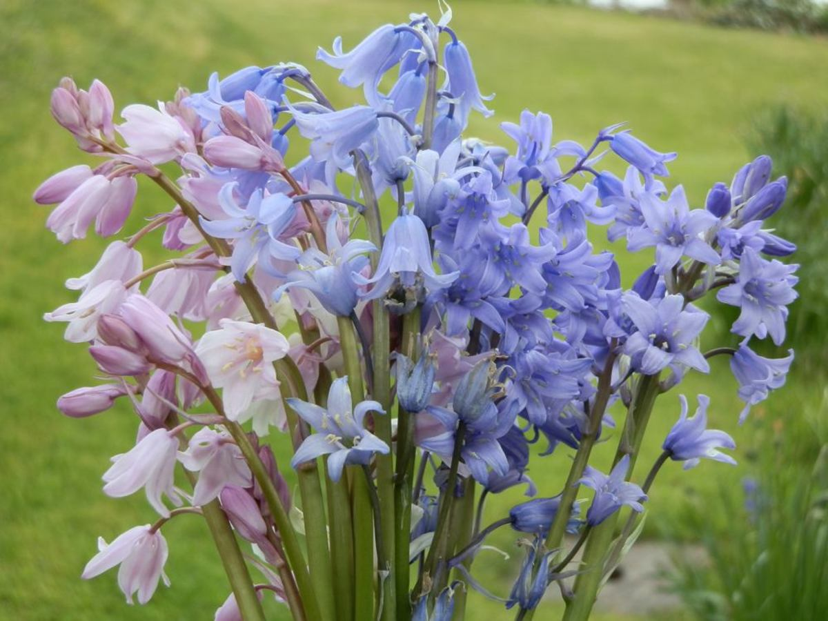A bunch of garden bluebells.