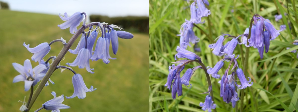 Spanish/English bluebell cross on the left, and a woodland pure bluebell on the right.